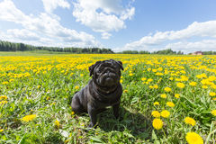 Black pug puppy in the grass. Black pug puppy with dandelion flowers in the green grass in the morning sunlight Royalty Free Stock Photography
