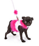 Black Pug Puppy in Pink Outfit Stock Images