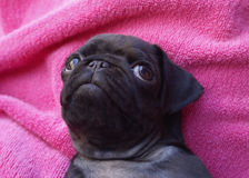 Black pug puppy Stock Photo