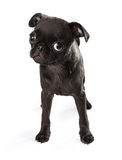 Black Pug Puppy Tilting Head Royalty Free Stock Photography