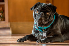 Black Pug. A black pug relaxes in the sunshine Stock Photo