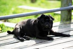 Black Pug Royalty Free Stock Photos
