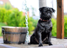 Black pug sitting on a well Royalty Free Stock Photos