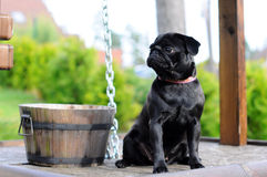 Black pug sitting on a well Royalty Free Stock Images