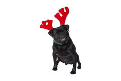 Black Pug Wearing Christmas Attire 4 Royalty Free Stock Images