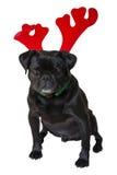 Black Pug Wearing Christmas Attire 5 Stock Image
