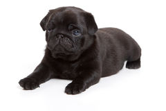 Black pug on white background. Black pug isolated on white background Stock Photo