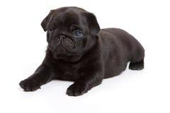 Black pug on white background. Black pug isolated on white background stock photo