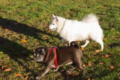 Black pug and white friend dog having fun on november evening Royalty Free Stock Image