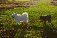 Black pug and white friend dog having fun on november evening royalty free stock images