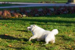 Black pug and white friend dog having fun on november evening Royalty Free Stock Photography