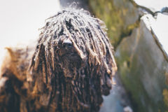 Black puli dog with glossy nose and eyes covered in dreadlocks looking up Royalty Free Stock Photo