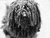Black puli dog with glossy nose and eyes covered in dreadlocks looking up Stock Photography