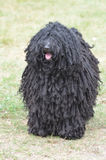 Black Puli Dog with Shaggy Curls Stock Photo