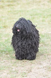 Black Puli Water Dog Stock Images