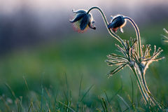 Black pulsatilla Stock Photography