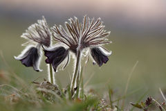 Black pulsatilla Royalty Free Stock Photos