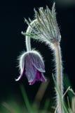 Black pulsatilla. Macro of Pulsatilla pratensis subsp. nigricans on black background Royalty Free Stock Photos