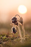 Black pulsatilla Royalty Free Stock Photography