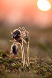 Black pulsatilla Royalty Free Stock Image
