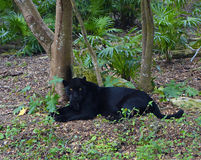 Black puma. Black cougar sitting on the ground in the rainforest Royalty Free Stock Images