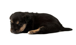 Black puppie. On white background Stock Photography