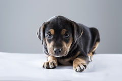 Black puppie. A cute puppie sitting in studio lighting with fear Royalty Free Stock Photos