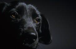 Black puppy Royalty Free Stock Photos