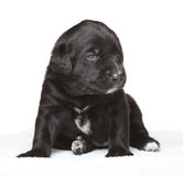 Black puppy Stock Images