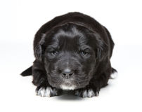 Black puppy Stock Photography