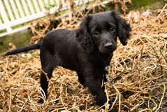 Black puppy. Young black dog on dry grass stock photos