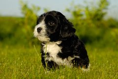 Black puppy Royalty Free Stock Images