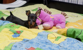 Black puppy with big ears playing with pink toy on the bed on a colorful blanket Stock Photos