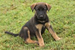 Black puppy with brown markings sitting in the grass. Portrait of a cute lab mix black puppy with brown markings sitting in the grass Stock Image