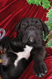 Black puppy cane corso portrait looking at camera Stock Photos