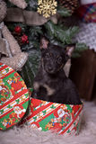 Black puppy at the Christmas tree Stock Image