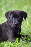 Black puppy Royalty Free Stock Image