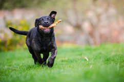 Black puppy dog on the garden. Play Stock Photography