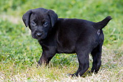 Black puppy dog on the grass Royalty Free Stock Image