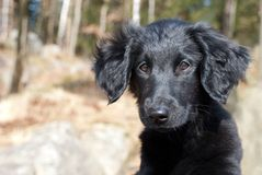 A black puppy dog Stock Photography