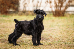 Black puppy of Giant Schnauzer dog Stock Photography