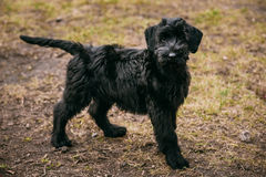 Black puppy of Giant Schnauzer dog Royalty Free Stock Photos