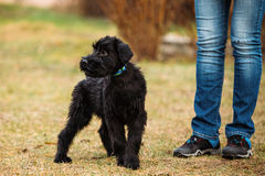 Black Puppy Of Giant Schnauzer Or Riesenschnauzer Dog Outdoor Stock Images