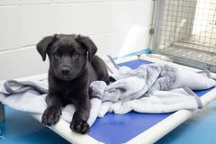 A black puppy lays on his bed at the animal shelter. A black mixed breed rescue puppy lays on his bed in the kennel of the animal shelter stock photos