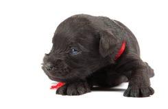 Black puppy of Miniature Schnauzer Stock Images