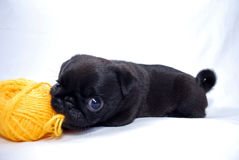 Black puppy Mopsa. The black puppy Mopsa gnaws a ball of wool yarn Royalty Free Stock Image