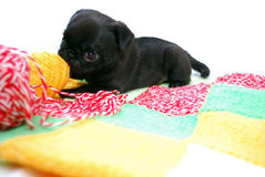 The black puppy Mopsa gnaws a ball of wool yarn Royalty Free Stock Image