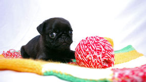 The black puppy Mopsa lies on a knitted plaid near a yarn ball Royalty Free Stock Photos