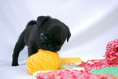 The black puppy Mopsa plays. He gnaws a ball of wool yarn Stock Photos