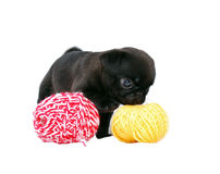 The black puppy Mopsa smells a ball of wool yarn. On a white background, is isolated Royalty Free Stock Photography